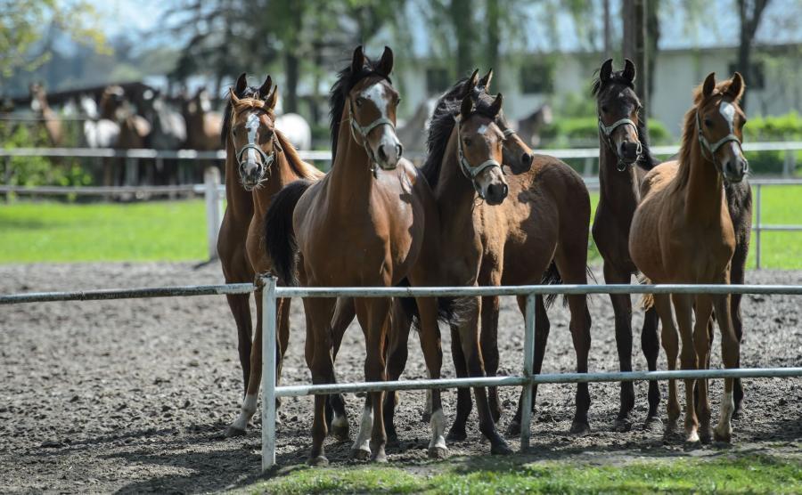 Konie arabskie w Janowie Podlaskim