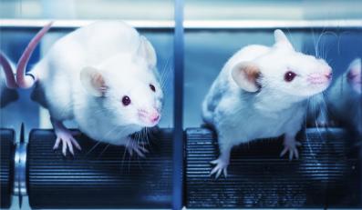 Myszy wykorzystywane do testów laboratoryjnych
