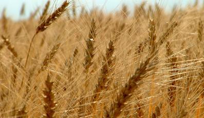 Rolnicy: Palmy zboże w elektrociepłowniach