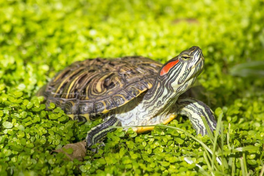 Żółw czerwonolice