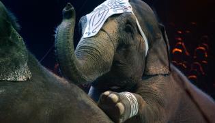 Słonie w cyrku