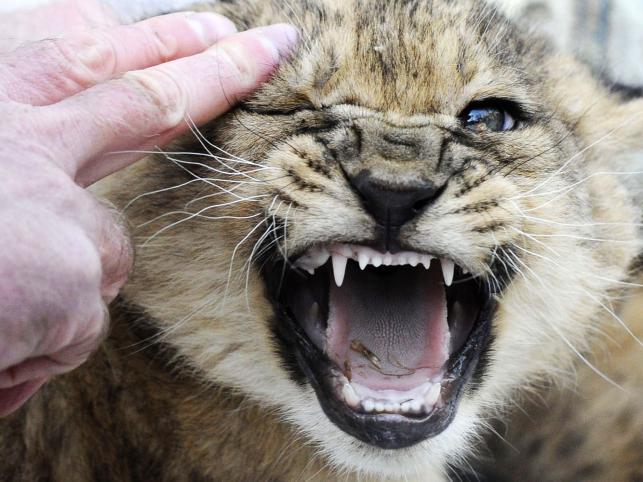 Dwie lwice z parku safari w Hodenhagen w Niemczech urodziły łącznie 9 małych lewków. Półtoramiesięczne maluchy po raz pierwszy pokazały sie dziś publicznie